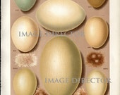 Antique EGGS Nest IMAGE Download 3 Beautiful Colorful Bird Eggs Natural Science Scrapbooking or Home Decor Print to Frame