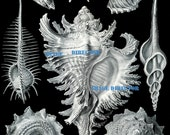 Antique 1899 SHELLS IMAGE Download 1 Beautiful Ocean Sea Nature Black and White Large Picture Scrapbooking Home Decor Print to Frame