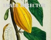 Botanical Flower 1828 IMAGE Download 5 Beautiful Antique Orange Yellow Papaya Fruit Garden Plant Natural Science to Print Frame Home Decor