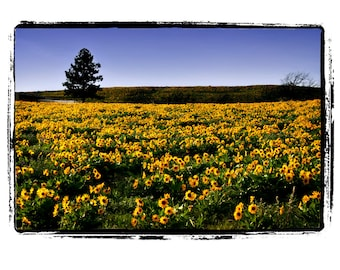 10 x 13 Print Special Field of Balsam Root Yellow Flowers with Vivid Green and Blue Sky Fine Art Photograph 8x10