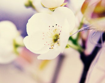 Pear Blossoms - Fine Art Photography