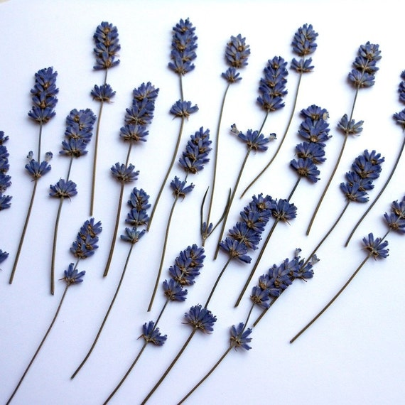 Lavender Pressed Dried with Stem Real Flowers