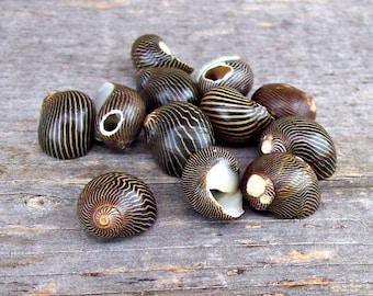 Vintage Black Nerite Shells - Drilled- 14mm (12)