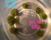 Black Friday Cyber Monday Marimo Moss Balls Aquarium desk pet tank Babies Party of 6 Runts