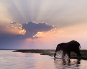 Elephant Splashing in the Chobe River, Botswana at Sunset - Fine Art Photo