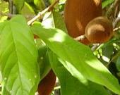 Reserve listing cherimoya guava sapodilla