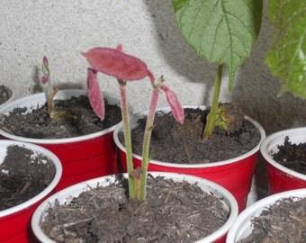 Cupuacu (Theobroma Grandiflorum) Tropical Fruit Tree 1 Gallon