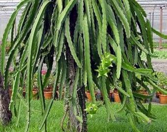 Dragon Fruit Cactus (Pitaya) (Cutting)