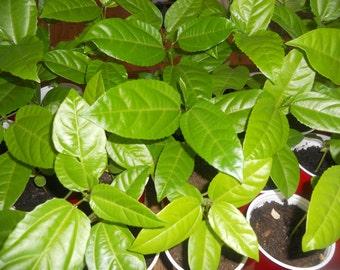 2 Yellow Passion Fruit Vine Tropical Fruit Plant