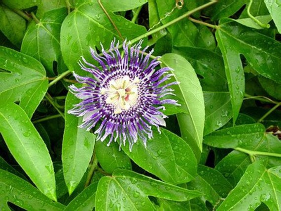 Purple Passion Fruit Vine
