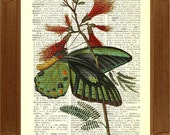 Butterflies Print, Papilio Priamus Butterfly,  vintage 1800 illustration  printed on old upcycled dictionary page