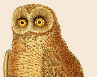 Vintage OWL print, Decorative art, Upcycled vintage illustration Vintage Print, Wall art, Natural history