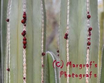 Cactus art Photograph print, 8x10 photo size, Cactus Buds