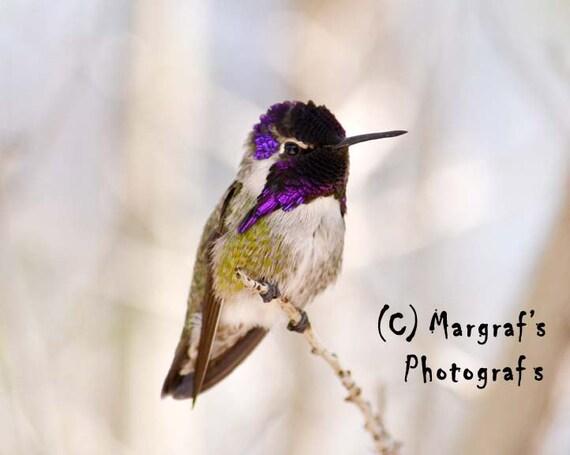 Hummingbird Art Photograph print, purple and green Hummingbird picture, 5x7 humming bird photo