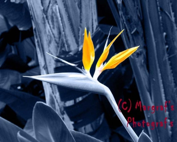 Blue Bird of Paradise in Maui Hawaii, monotone with colorized flower, 8x10 bird of paradise photo, 8x10 flower photo