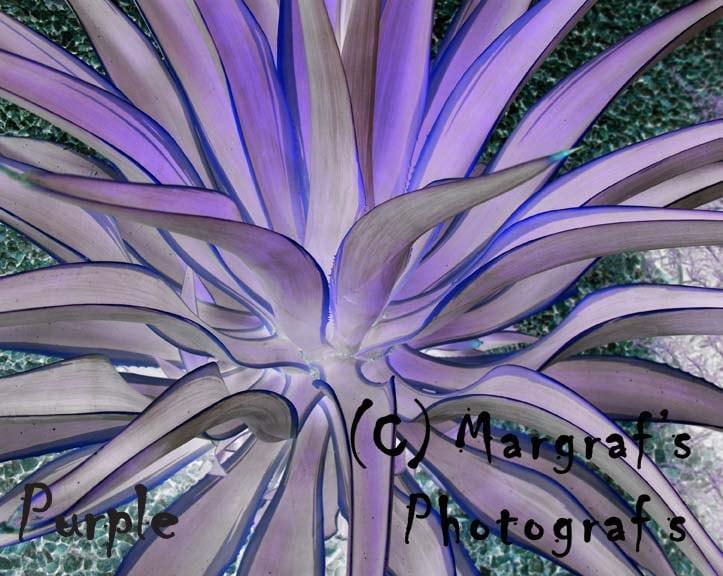 cactus photography 8x10 purple aloe vera plant photo