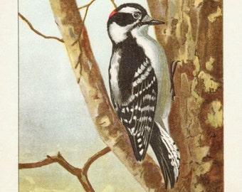 Antique Scientific Bird Print by the Famous Naturalist Ernest Seton Thompson, Downy Woodpecker, 1903