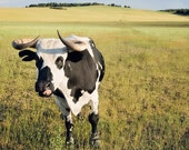 cow in pasture - 8x10 fine art photograph