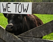 silly animal photo 5x7 Cow Tow Animal Photography farm animal tow sign black cow StrongylosPhoto