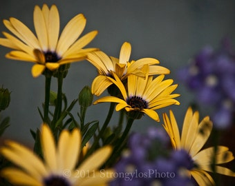 8x10 photo yellow flowers Daisies, Fine Art Photography blue purple StrongylosPhoto cottage decor
