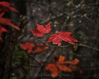 10x10 photo, other sizes, Maple tree in Autumn, red leaves, North Carolina nature photo, fine art photography, StrongylosPhoto
