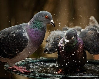 bird bath two pigeons splashing in water drops 8x10 fine art photography StrongylosPhoto