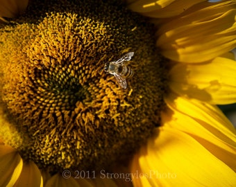 color photography, honey bee on yellow sunflower, assorted sizes, home decor,California fine art photography, StrongylosPhoto, nature