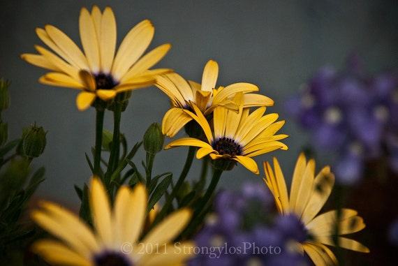 8x10 photo yellow flowers Daisies, Fine Art Photography blue purple StrongylosPhoto cottage decor