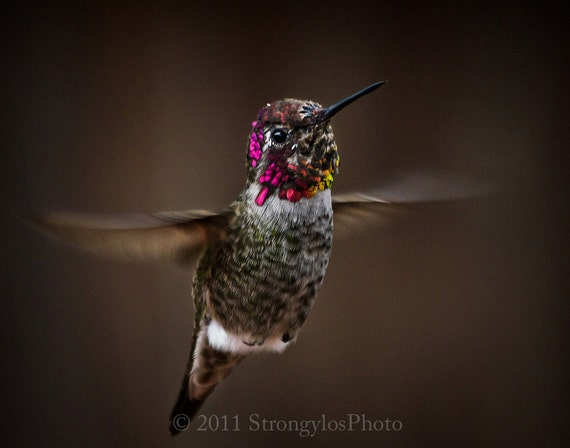 hummingbird photography, hummingbird in flight photo, male annas hummingbird, colorful hummingbird photo