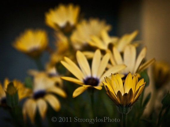 Yellow Daisies, Fine Art Photography, 8x10 print, shabby chic home, cottage decor, wall photo, StrongylosPhoto