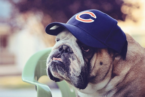 8x10 Print of English Bulldog wearing a Chicago Bears Hat