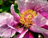 Photograph Tree Peony Violet Flower 8 x 10 inch by J. L. Fleckenstein