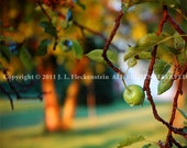 Apple Tree Photograph 8 x 10 inch by J. L. Fleckenstein