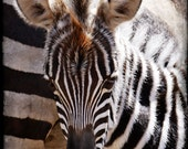 Zebra baby big ears  12 x 8  fine art photography print    Africa Series,signed