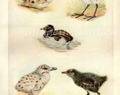 1950s BABY BIRDS Vintage Bird Print, Book Plate to Frame, Pacific Gull, Dusky Moorhen, Plover 9 1/2 x 7 inch