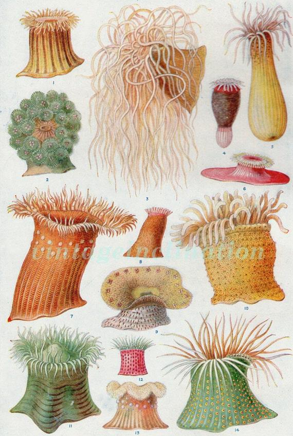 Antique Print, 1933 Foreign Anemones, Sea Anemones, ocean