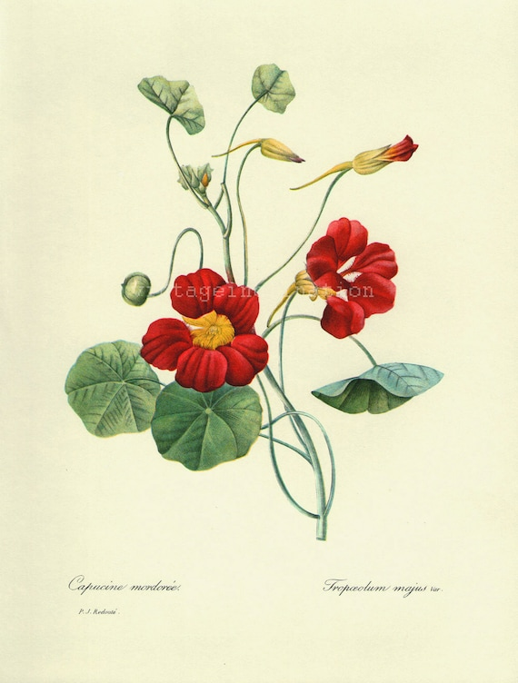 Antique Flower print Red Capucine Mordoree bookplate, vintage botanical flowers bookplate art print, red flowers wall print wall art