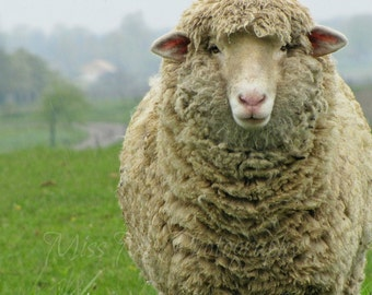 Rustic, Sheep, Ewe, French, Country, Farmhouse, Nursery, Childrens, Modern, Home Decor, Original Fine Art Photograph