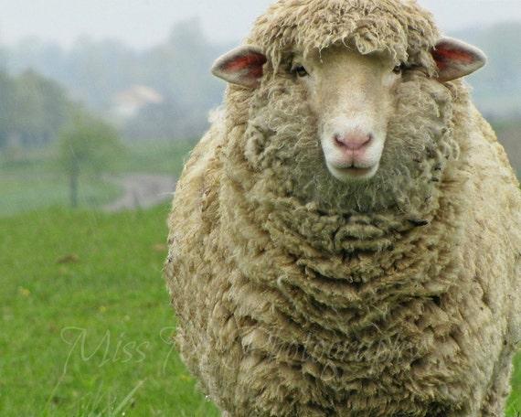Rustic, Sheep, Ewe, French, Country, Farmhouse, Nursery, Childrens, Home Decor, Original Fine Art Photograph, 8x10