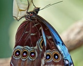 Butterfly Photo Blue Morpho Butterfly with Chrysalis Photograph 5x7 Nature Insect Macro Photography