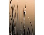 Cattails at Dusk - photograph 8x12