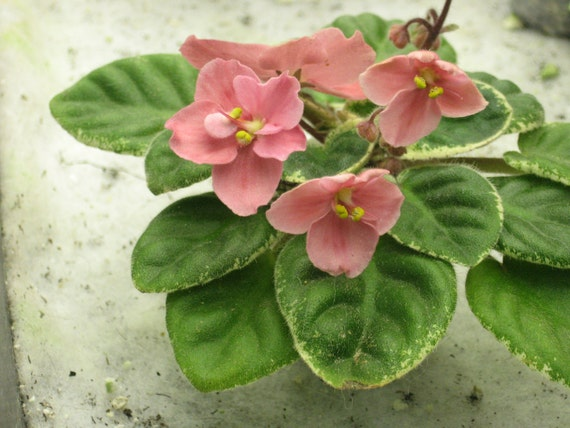 African Violet, live plant, MAC'S TANTALIZING TEMPTATION, starter, now shipping to California