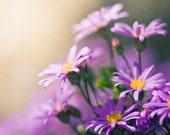 "Purple Photograph print - fine art photography 5x5 - photo prints - botanical print nature photography clickety violet ""Daisy Love"""