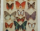 BUTTERFLY - Vintage French Animal Print - 1955
