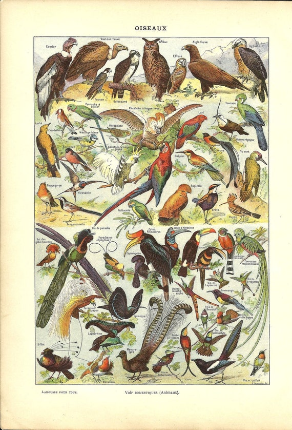 1900s - Antique BIRD poster - French Dictionary Color Illustration