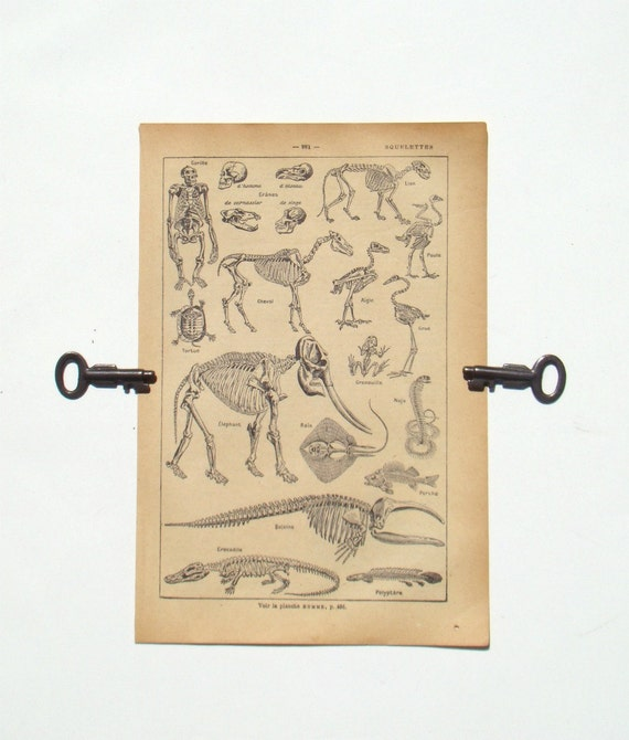 Skeletons - 1929 French Dictionary Page - Animal Skeletons (SQUELETTES) - Home Decor