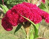 100 Giant Cockscombs Flower Seeds-1024