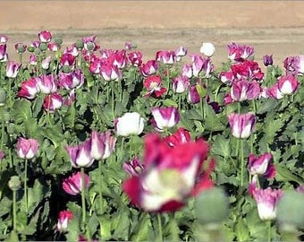 25 Giant Afghan Poppy Seeds-1143