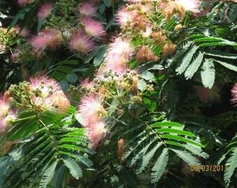 25 Rosa Silk Tree Seeds-1191
