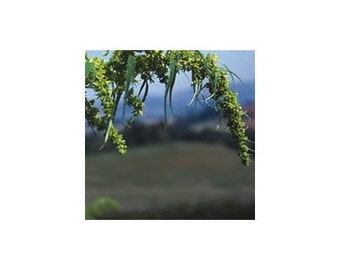 15 Datisca Cannabina Flower Seeds-1240